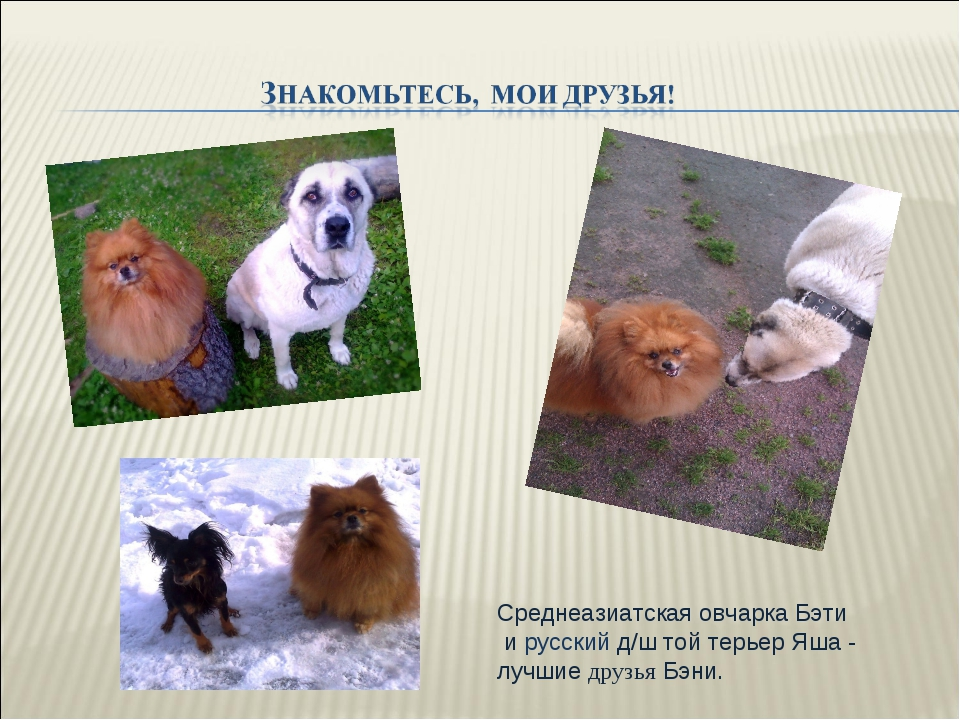Среднеазиатская овчарка Бэти и русский д/ш той терьер Яша - лучшие друзья Бэни.