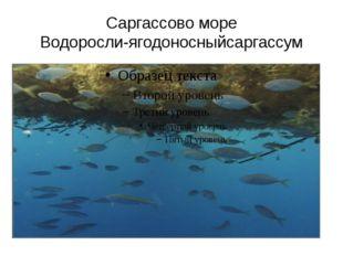 Саргассово море Водоросли-ягодоносныйсаргассум