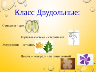 Класс Двудольные: Семядоли – две. Корневая система – стержневая. Жилкование