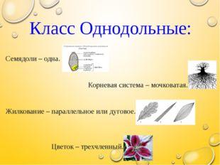 Класс Однодольные: Семядоли – одна. Корневая система – мочковатая. Жилковани