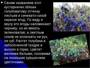 Своим названием этот кустарничек обязан голубоватому оттенку листьев и синева
