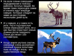 На воле олени совершают передвижения в поисках районов, богатых пищей. Во вре
