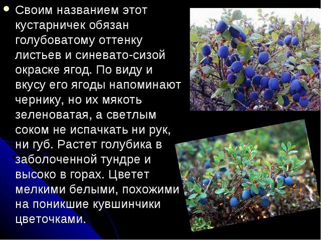 Своим названием этот кустарничек обязан голубоватому оттенку листьев и синева...