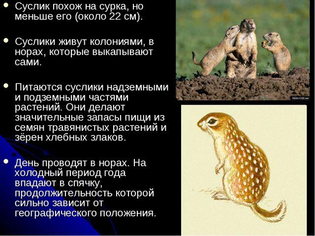 Суслик похож на сурка, но меньше его (около 22 см). Суслики живут колониями,...