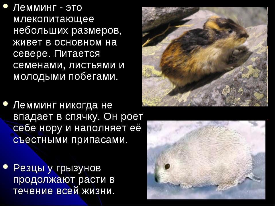 Лемминг - это млекопитающее небольших размеров, живет в основном на севере. П...