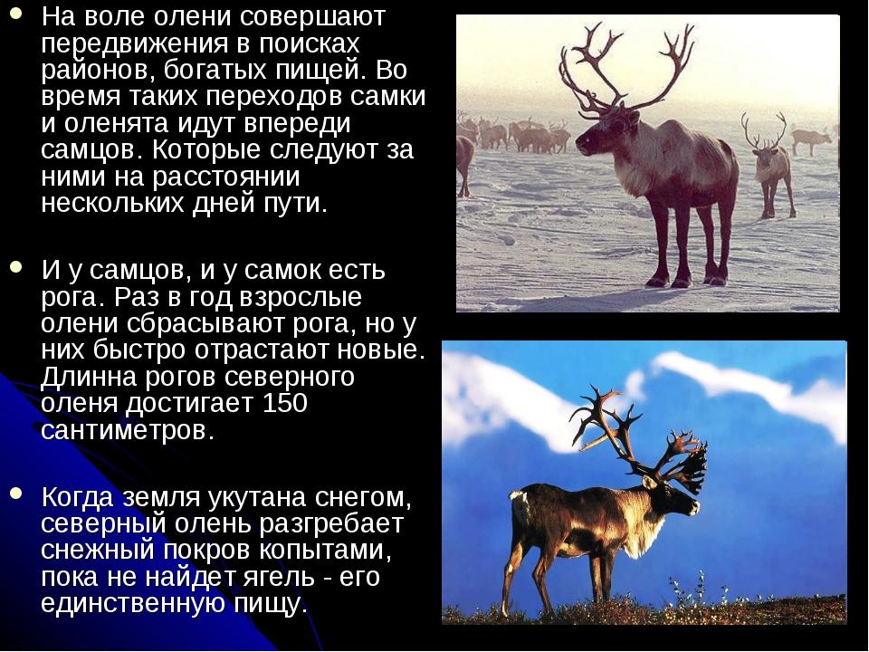 На воле олени совершают передвижения в поисках районов, богатых пищей. Во вре...