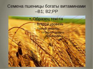 Семена пшеницы богаты витаминами –В1; В2;РР
