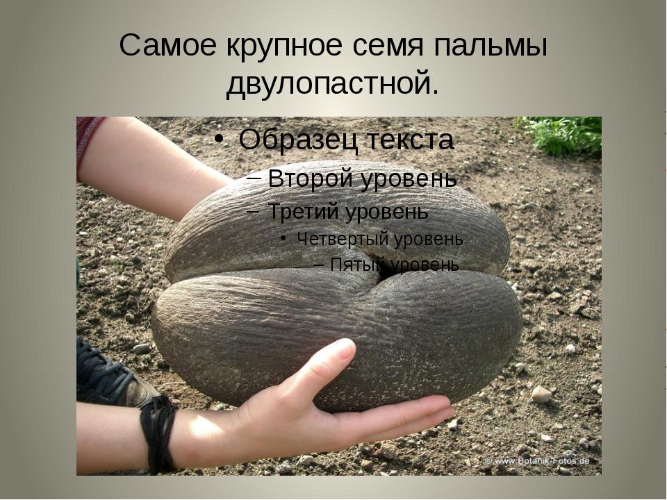 Самое крупное семя пальмы двулопастной.