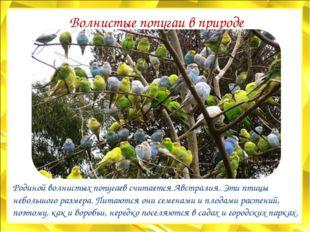 Волнистые попугаи в природе Родиной волнистых попугаев считается Австралия. Э