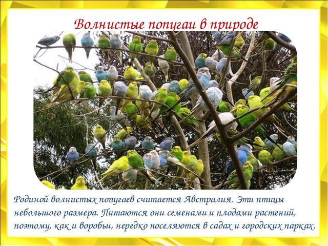 Волнистые попугаи в природе Родиной волнистых попугаев считается Австралия. Э...