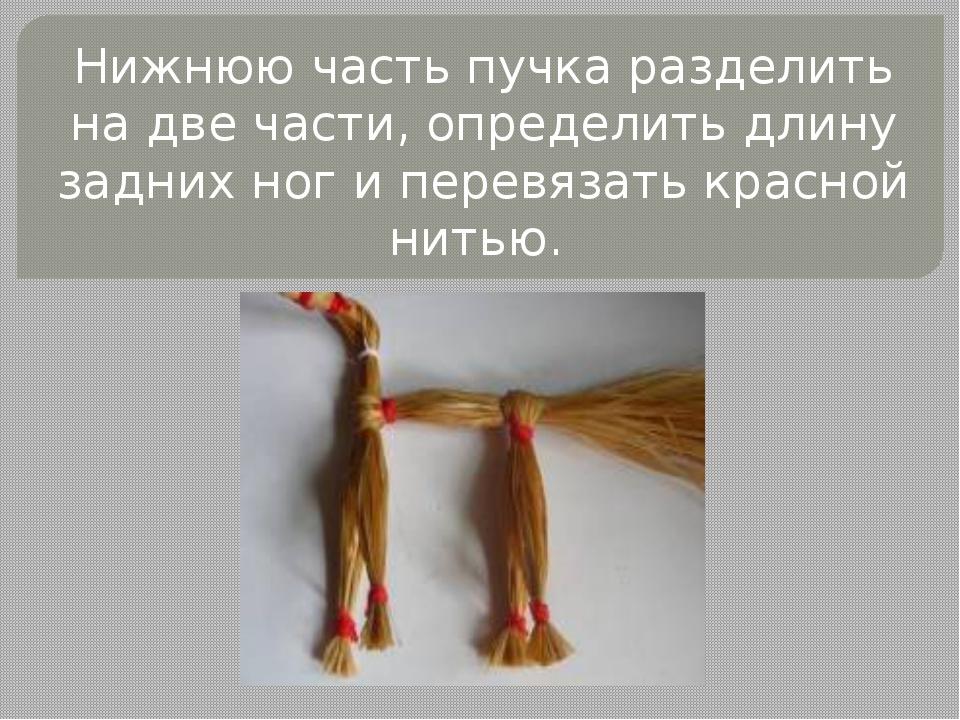 Нижнюю часть пучка разделить на две части, определить длину задних ног и пере...