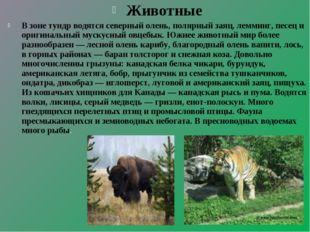 Животные В зоне тундр водятся северный олень, полярный заяц, лемминг, песец и