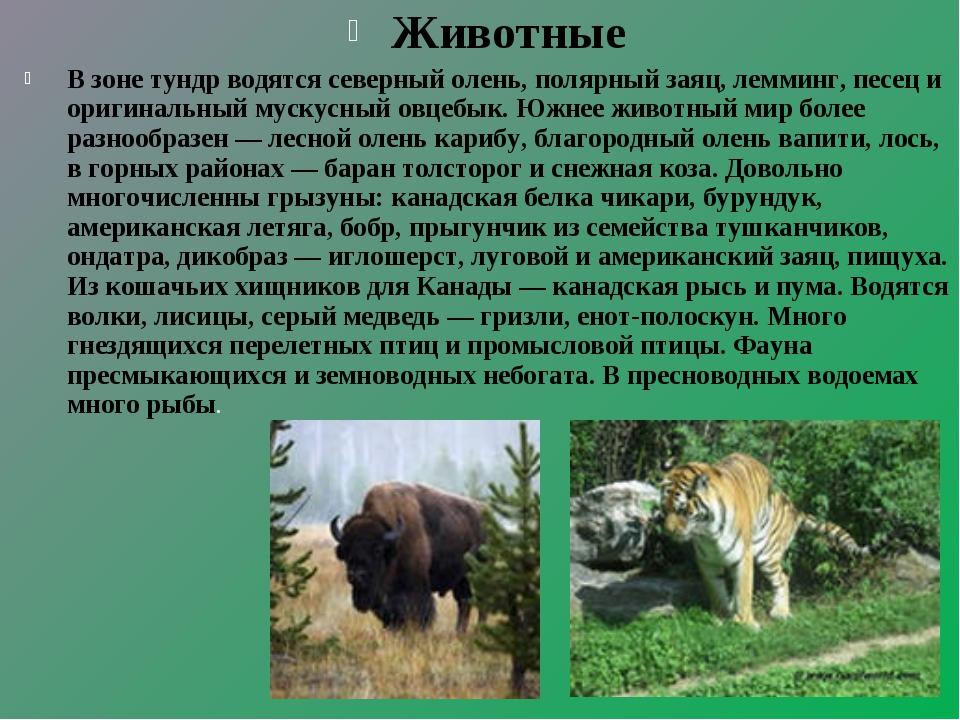 Животные В зоне тундр водятся северный олень, полярный заяц, лемминг, песец и...
