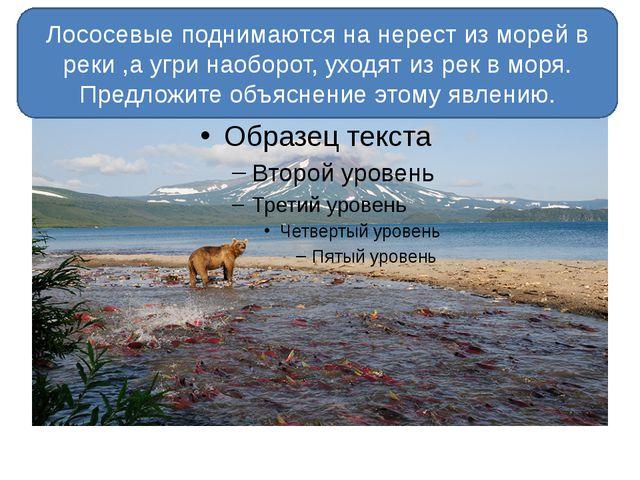 Лососевые поднимаются на нерест из морей в реки ,а угри наоборот, уходят из...