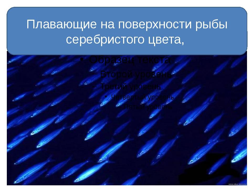 Плавающие на поверхности рыбы серебристого цвета,