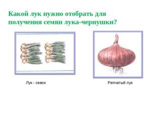 Какой лук нужно отобрать для получения семян лука-чернушки? Лук - севок Репча