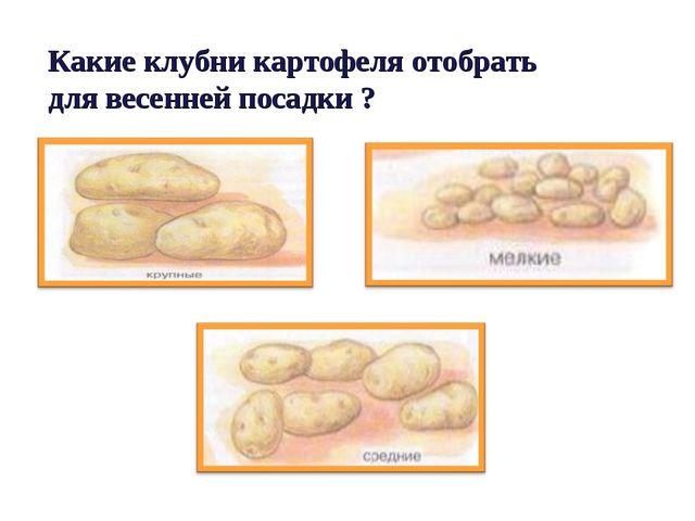 Какие клубни картофеля отобрать для весенней посадки ?