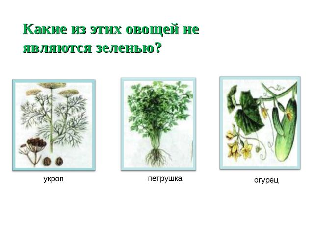 Какие из этих овощей не являются зеленью? укроп петрушка огурец