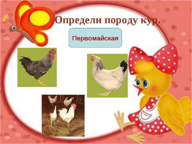 Определи породу кур. Первомайская