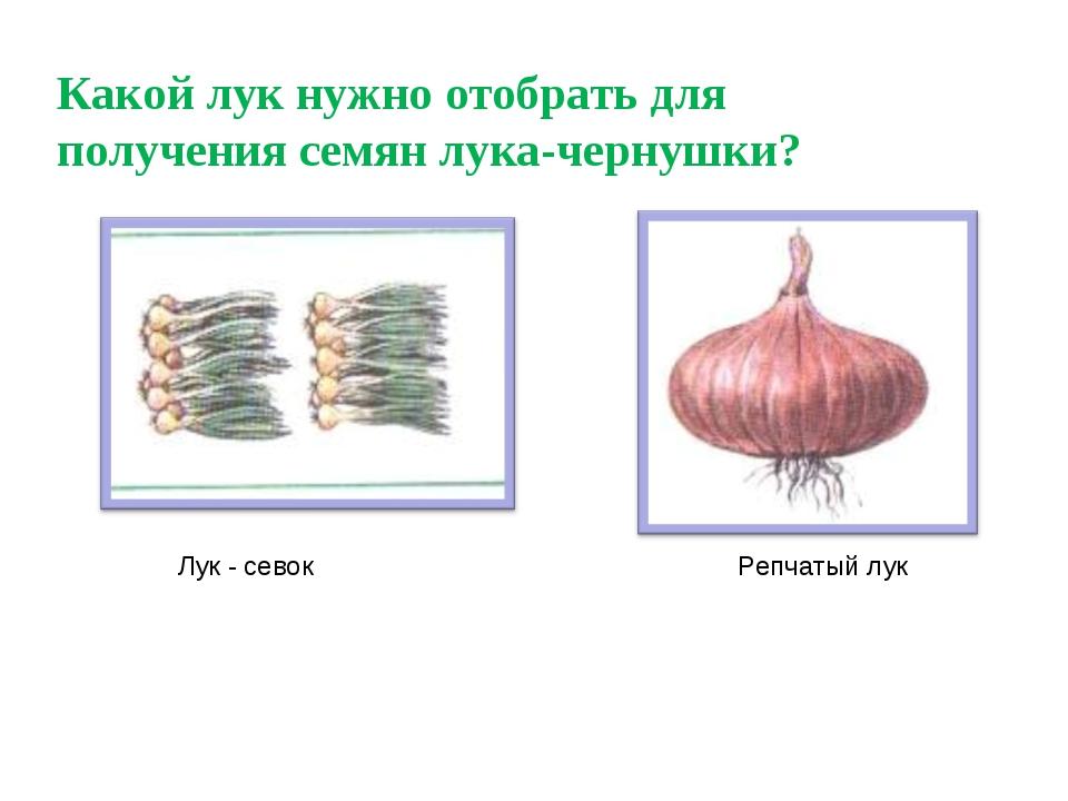 Какой лук нужно отобрать для получения семян лука-чернушки? Лук - севок Репча...