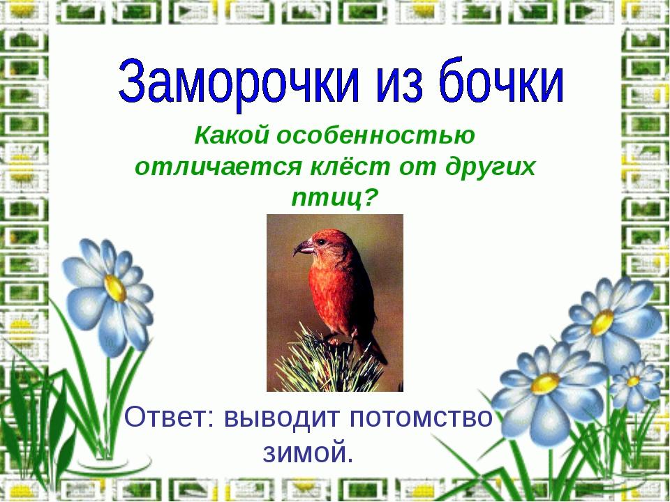 Какой особенностью отличается клёст от других птиц? Ответ: выводит потомство...