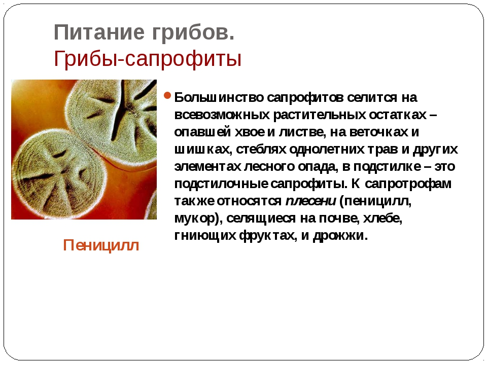 Питание грибов. Грибы-сапрофиты Большинство сапрофитов селится на всевозможны...