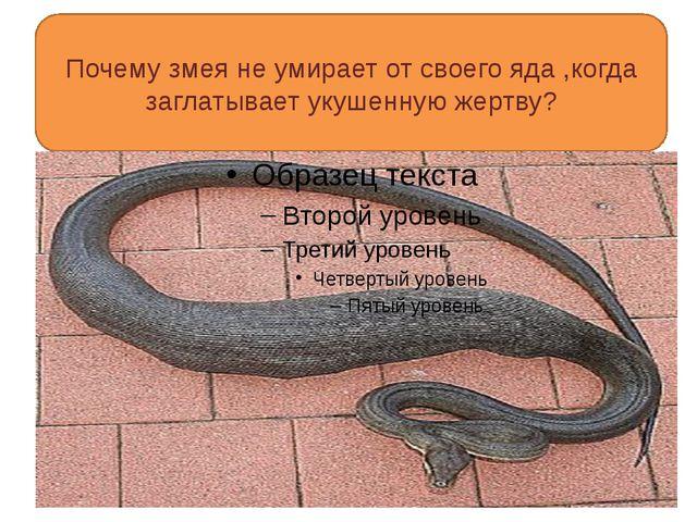 Почему змея не умирает от своего яда ,когда заглатывает укушенную жертву?