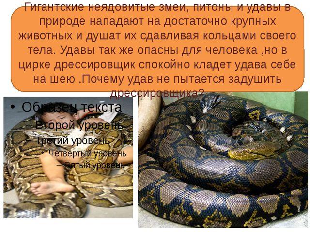 Гигантские неядовитые змеи, питоны и удавы в природе нападают на достаточно...