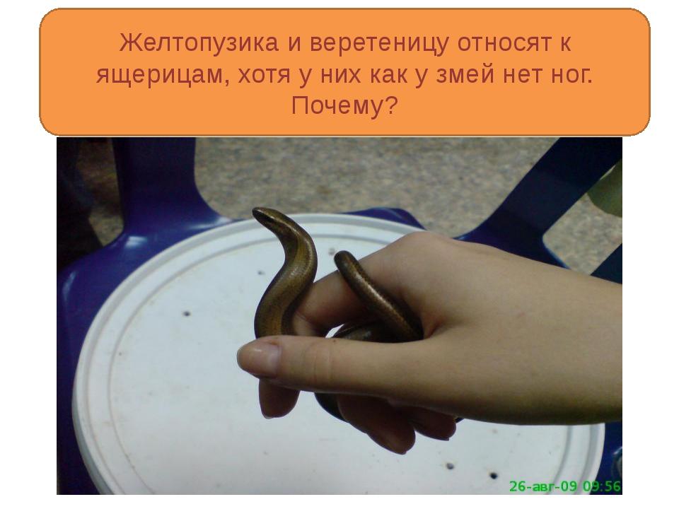 Желтопузика и веретеницу относят к ящерицам, хотя у них как у змей нет ног....