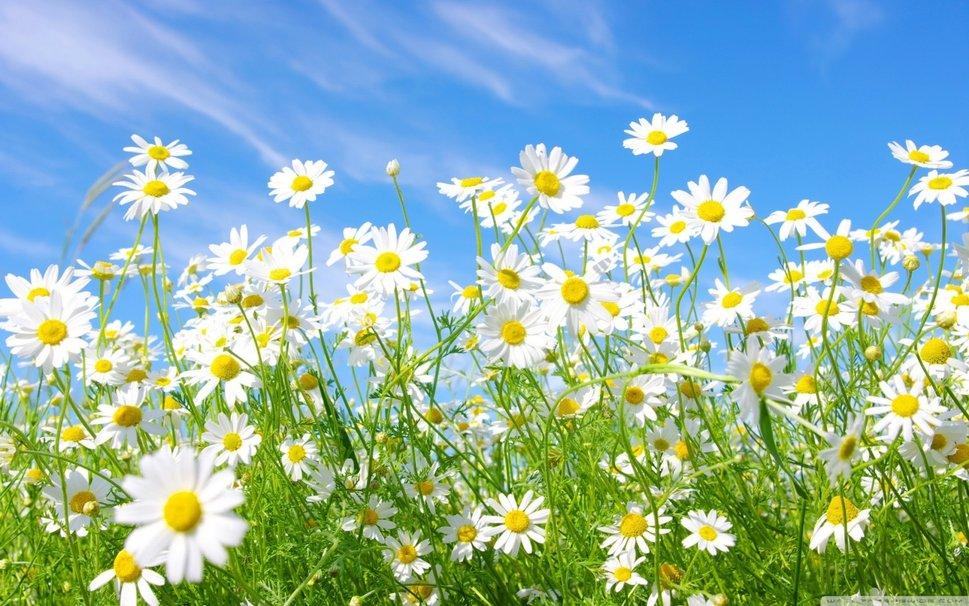 C:\Users\User\Desktop\334010__field-of-daisies_p.jpg