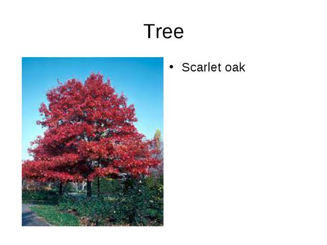 Tree Scarlet oak