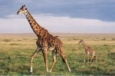 http://chanellelea.files.wordpress.com/2009/02/giraffe1.jpg?w=150&h=99