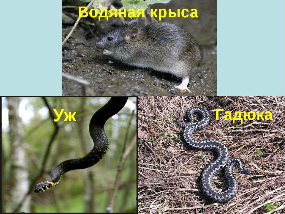 Водяная крыса Уж Гадюка