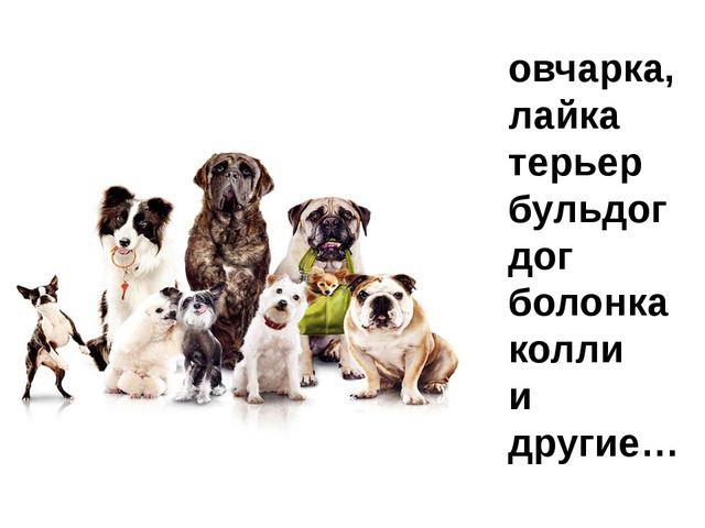 Породы собак овчарка, лайка терьер бульдог дог болонка колли и другие…