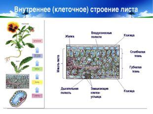 Внутреннее (клеточное) строение листа Мякоть листа Столбчатая ткань Губчатая