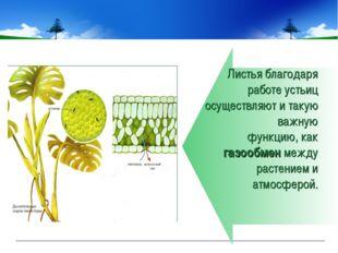 Листья благодаря работе устьиц осуществляют и такую важную функцию, как газоо