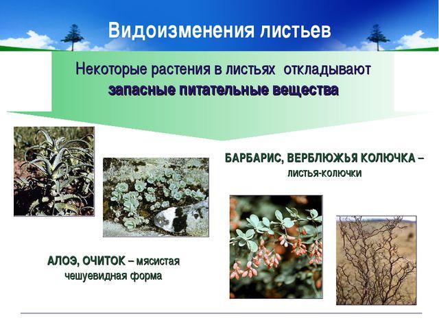 Некоторые растения в листьях откладывают запасные питательные вещества АЛОЭ,...