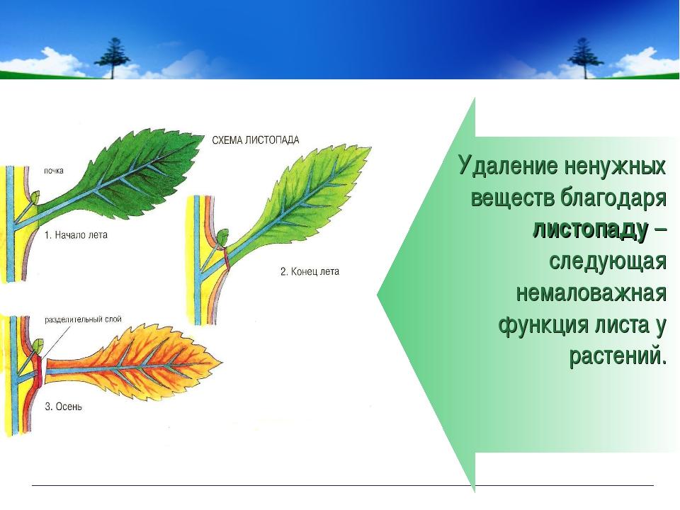 Удаление ненужных веществ благодаря листопаду – следующая немаловажная функци...