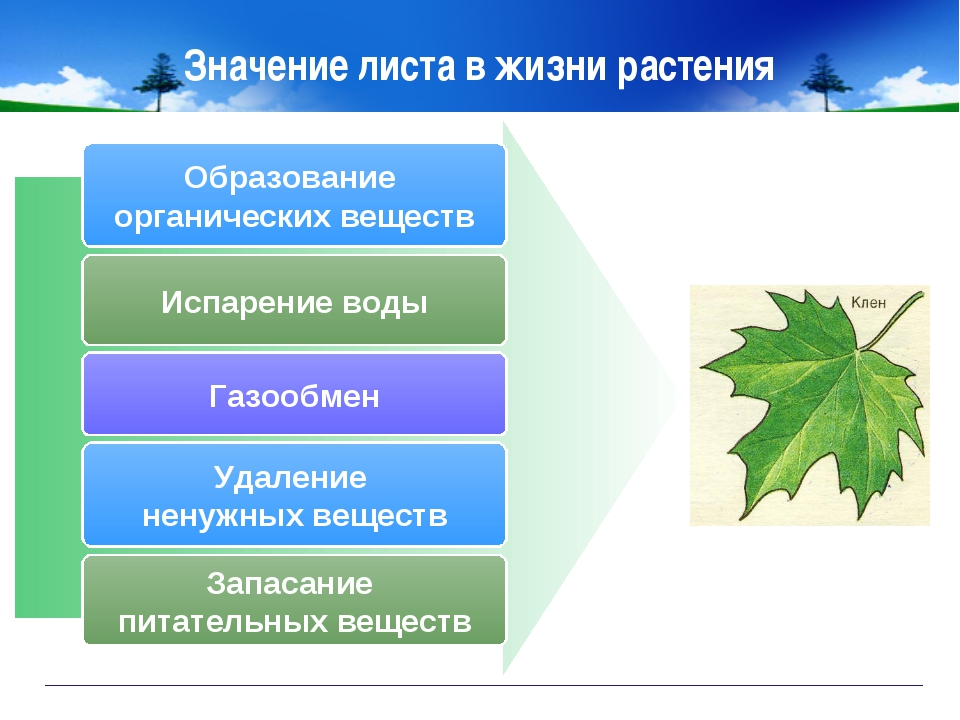 Значение листа в жизни растения Образование органических веществ Испарение во...
