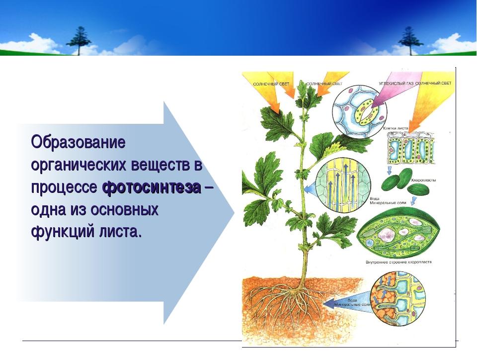Образование органических веществ в процессе фотосинтеза – одна из основных фу...