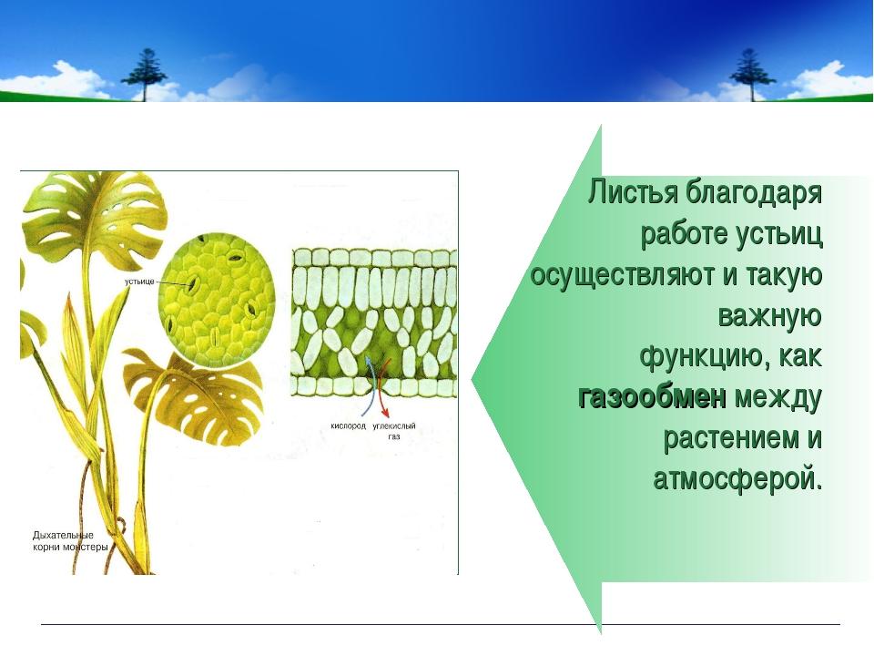 Листья благодаря работе устьиц осуществляют и такую важную функцию, как газоо...