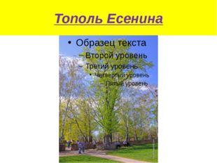 Тополь Есенина