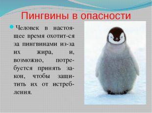 Пингвины в опасности Человек в настоя-щее время охотит-ся за пингвинами из-за