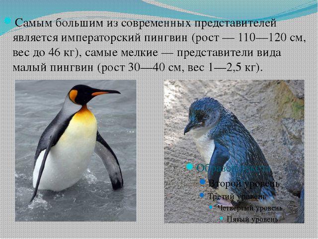 Самым большим из современных представителей является императорский пингвин (...