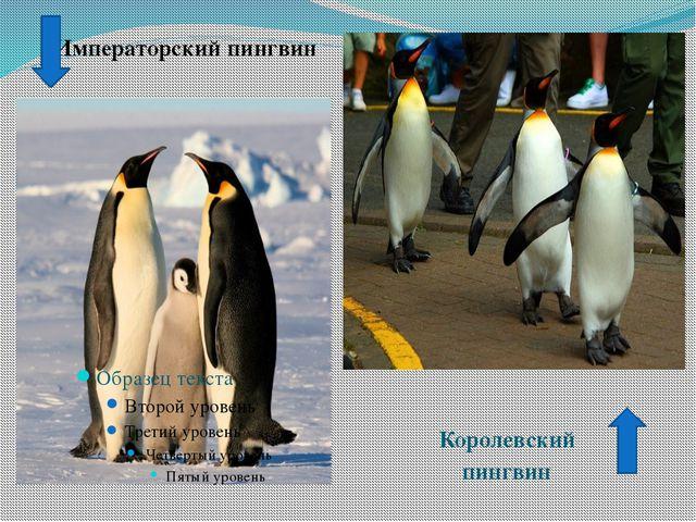 Императорский пингвин Королевский пингвин