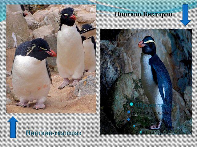 Пингвин Виктории Пингвин-скалолаз