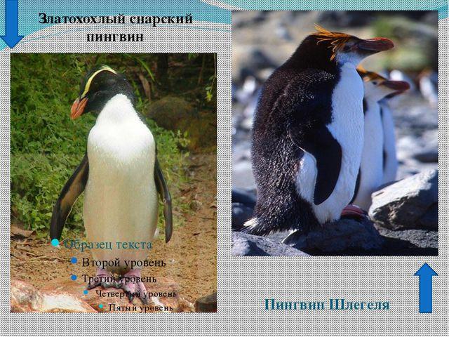 Златохохлый снарский пингвин Пингвин Шлегеля