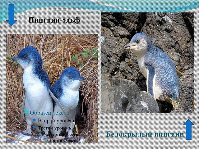Пингвин-эльф Белокрылый пингвин