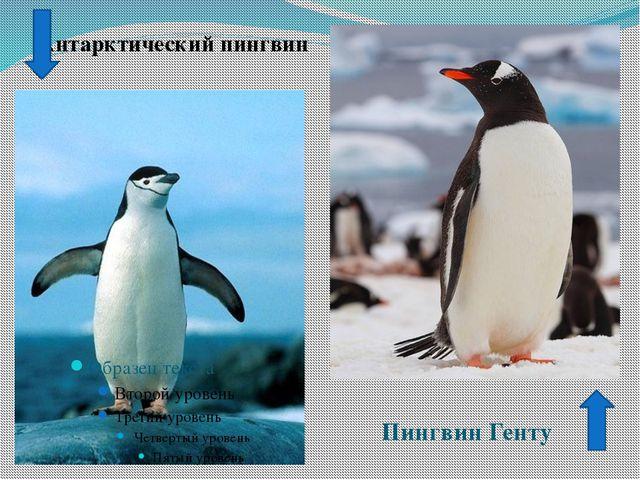 Антарктический пингвин Пингвин Генту