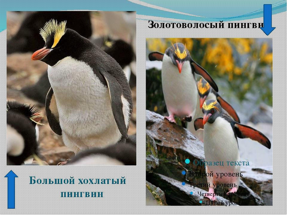 Золотоволосый пингвин Большой хохлатый пингвин